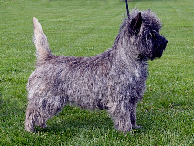 Tycadno Cairn Terriers - Homepage